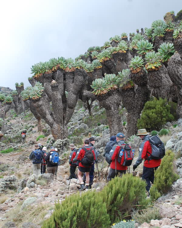 Line of Scottish trekkers tackle the Groundsel 'forest' above Barranco Camp