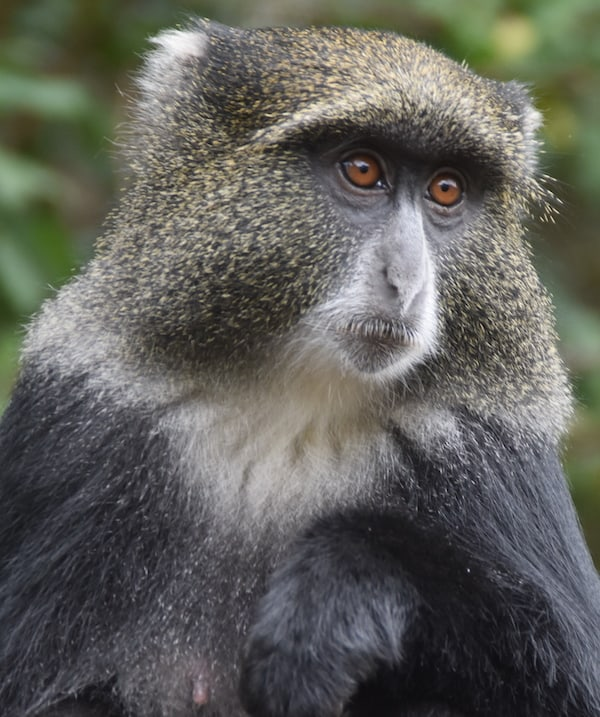 Blue monkey stares out on a typical trek itinerary