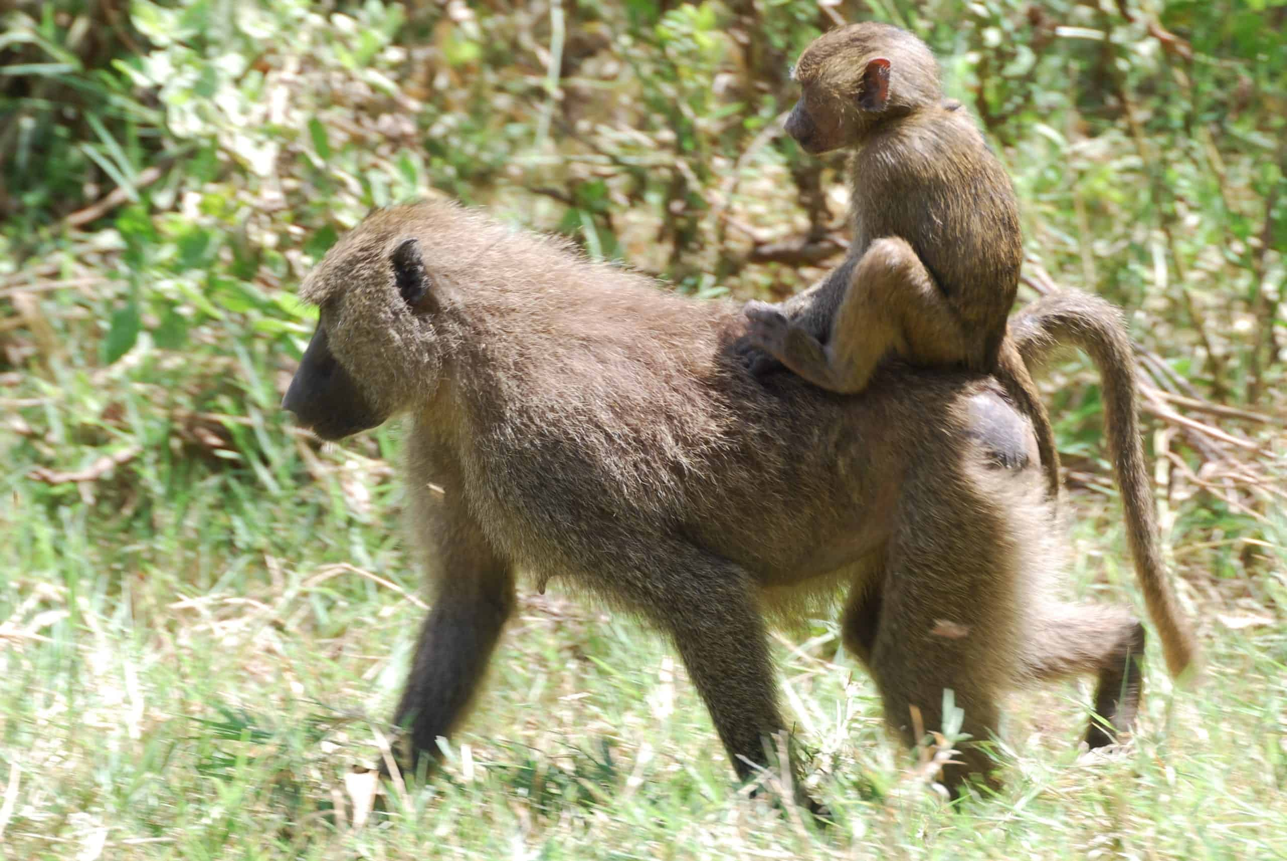 Female baboon with infant on her back strolls across the grass.