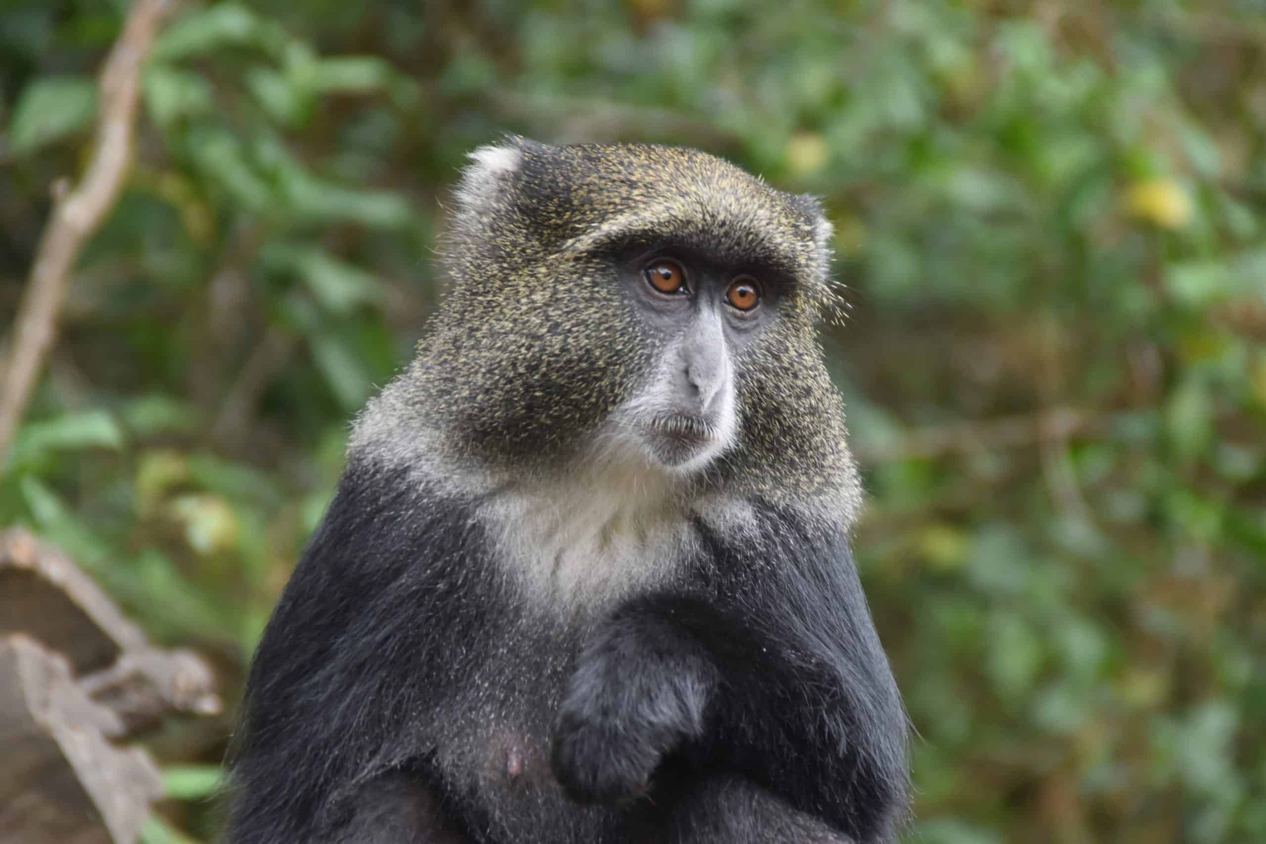 Blue monkey at Machame Gate on Kilimanjaro