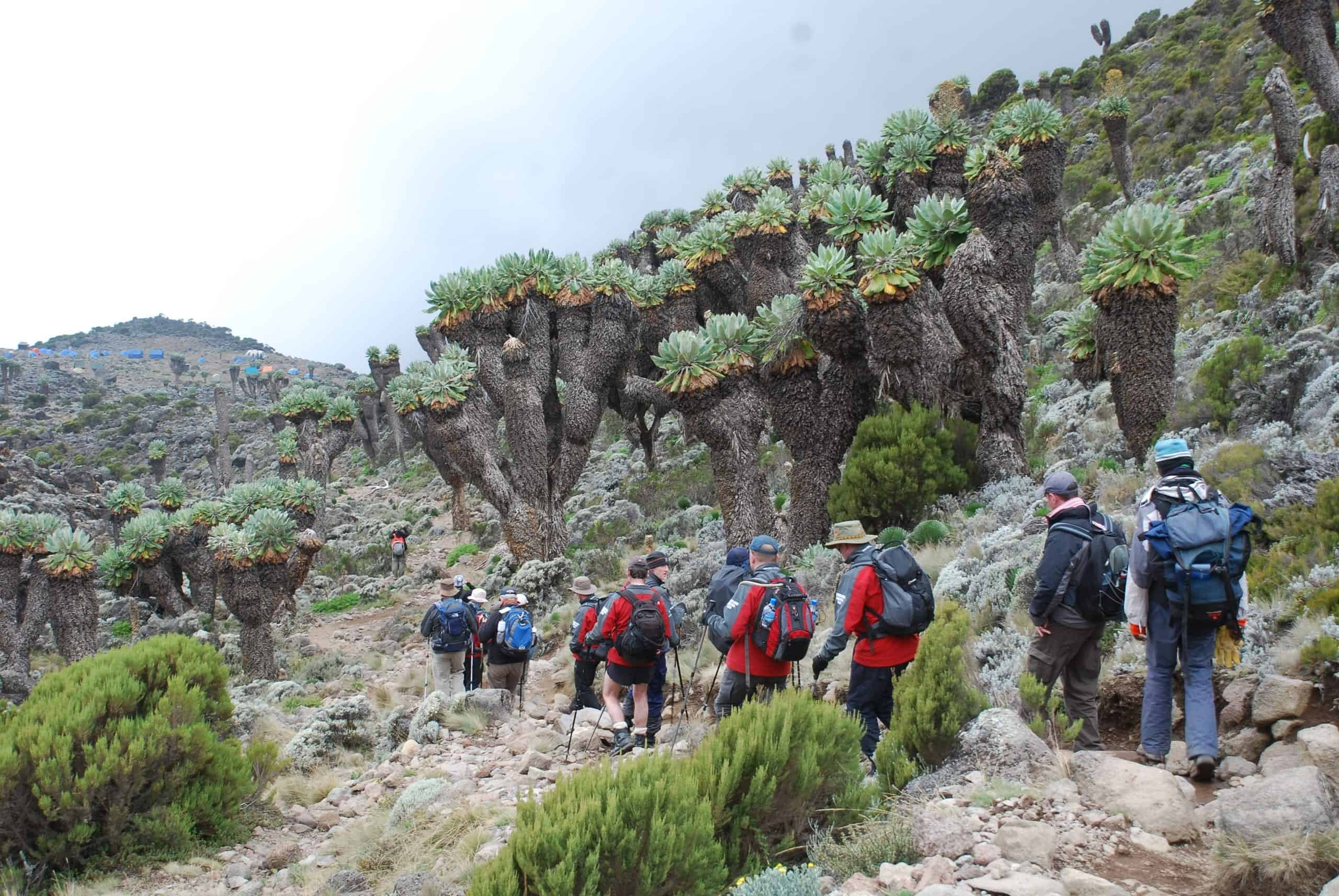 Line of trekkers march through a grove of giant senecios/groundsels, with Barranco Campsite in the background