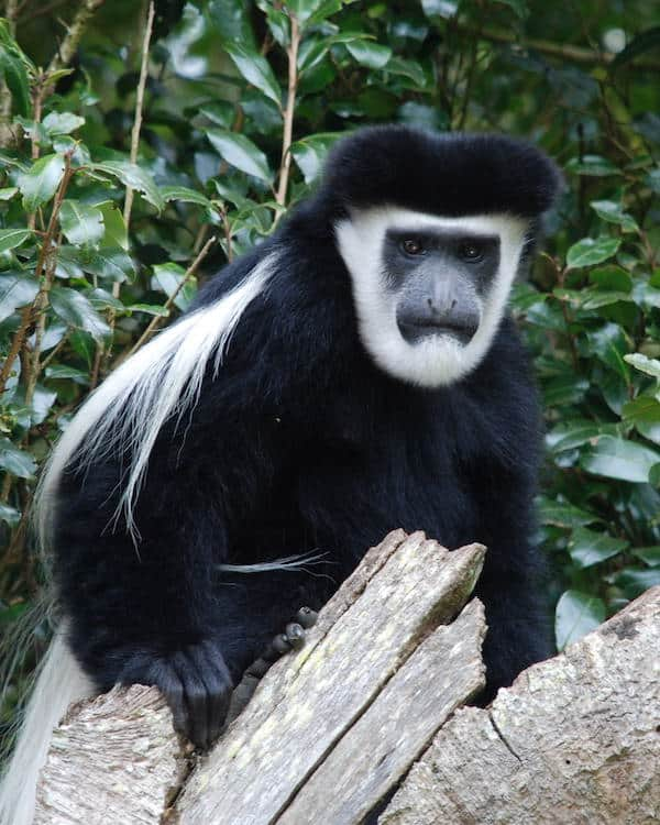 Colobus monkey atop a rotten tree trunk stares at the camera