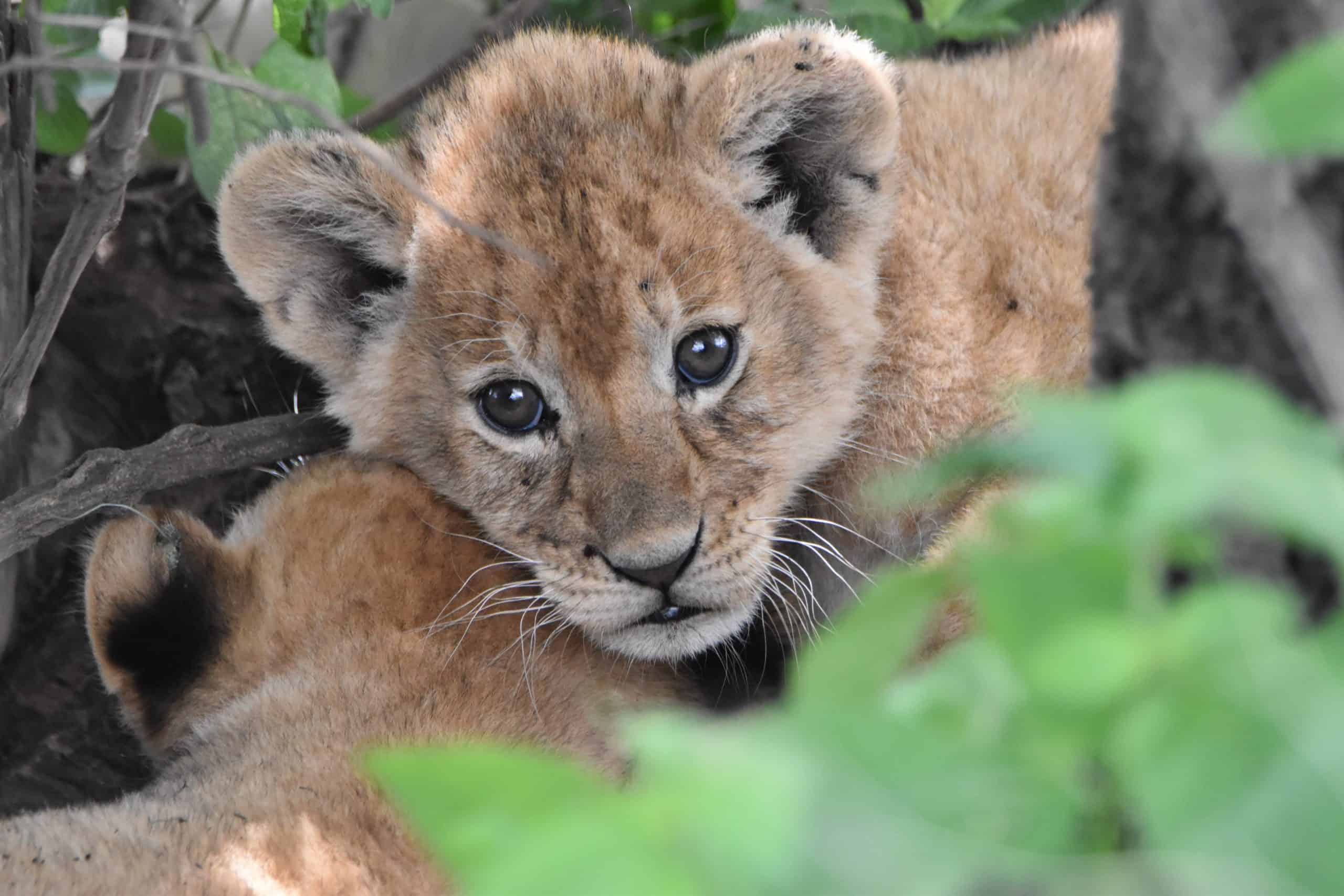 Lion cub stares straight at the camera through the undergrowth while lying on a second cub with its back to the camera.