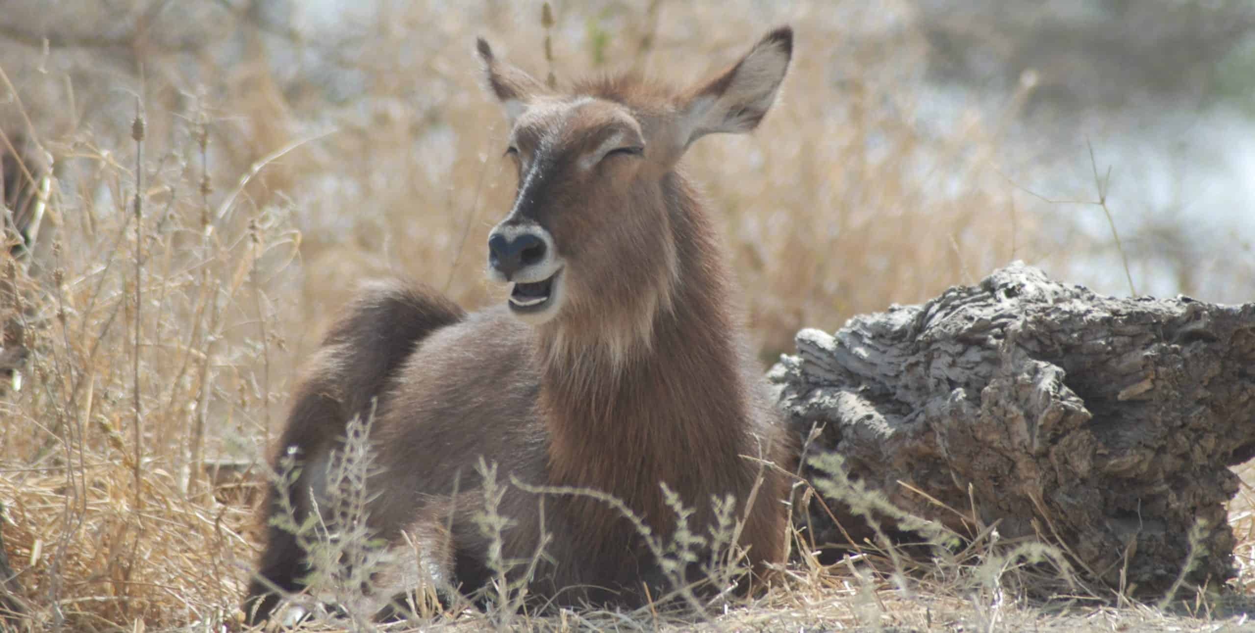 Laughing waterbuck in Serengeti