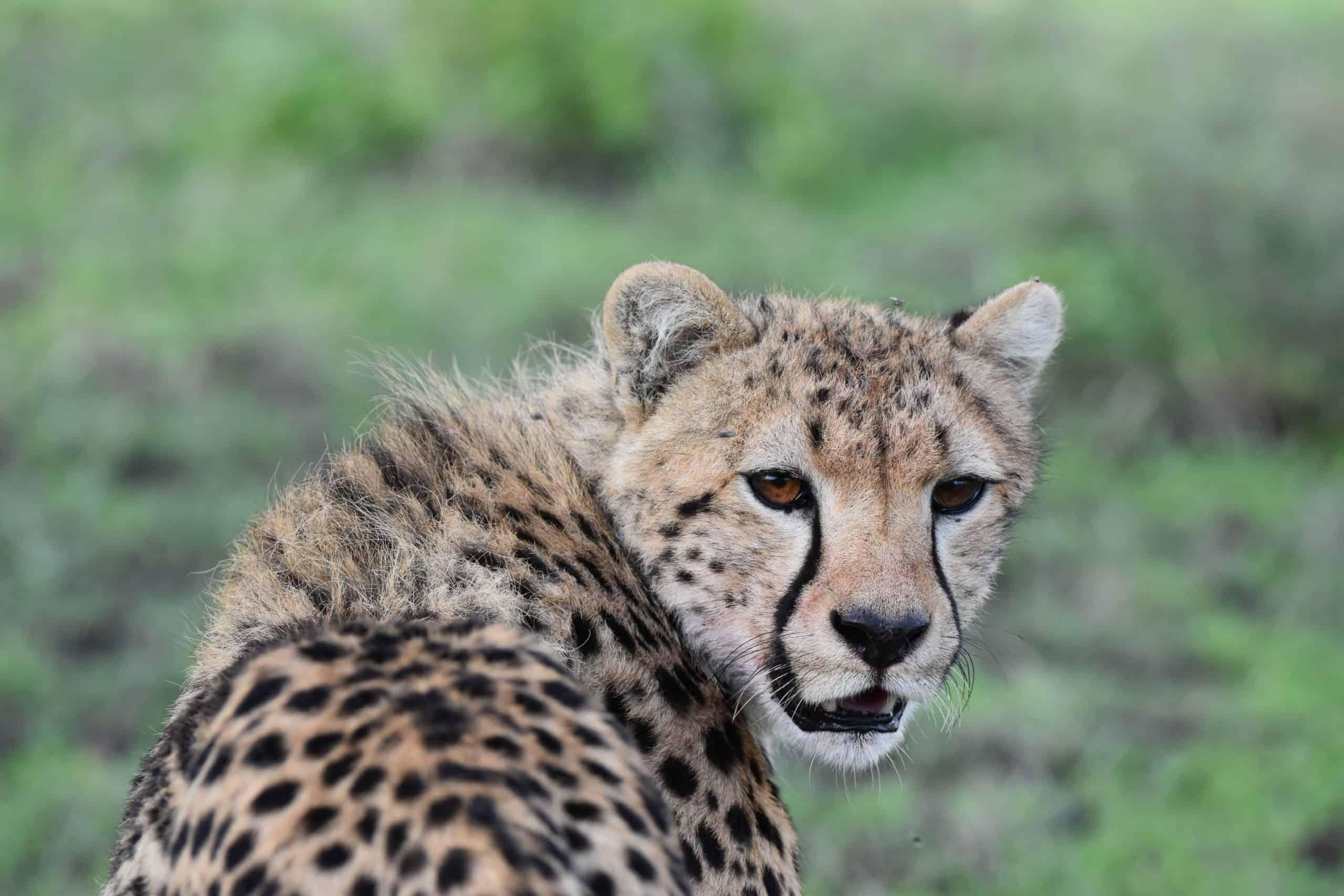 Cheetah turns to look back at the camera, Serengeti