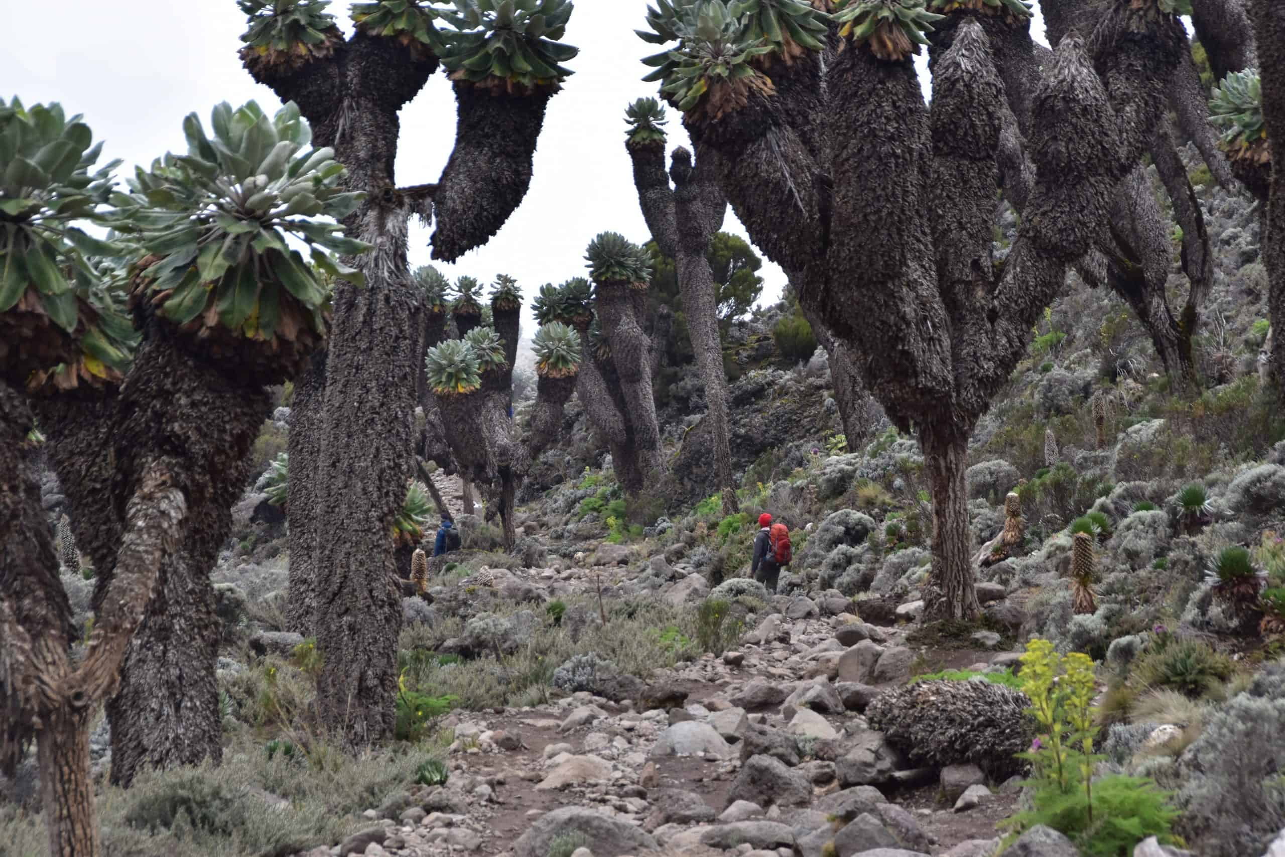 A guide in red hat and with an orange rucksack is dwarfed by the giant groundsels (or senecios) above Kilimanjaro's Barranco Campsite