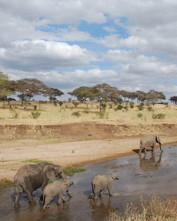 Elephants amble along the riverbed, Tarangire