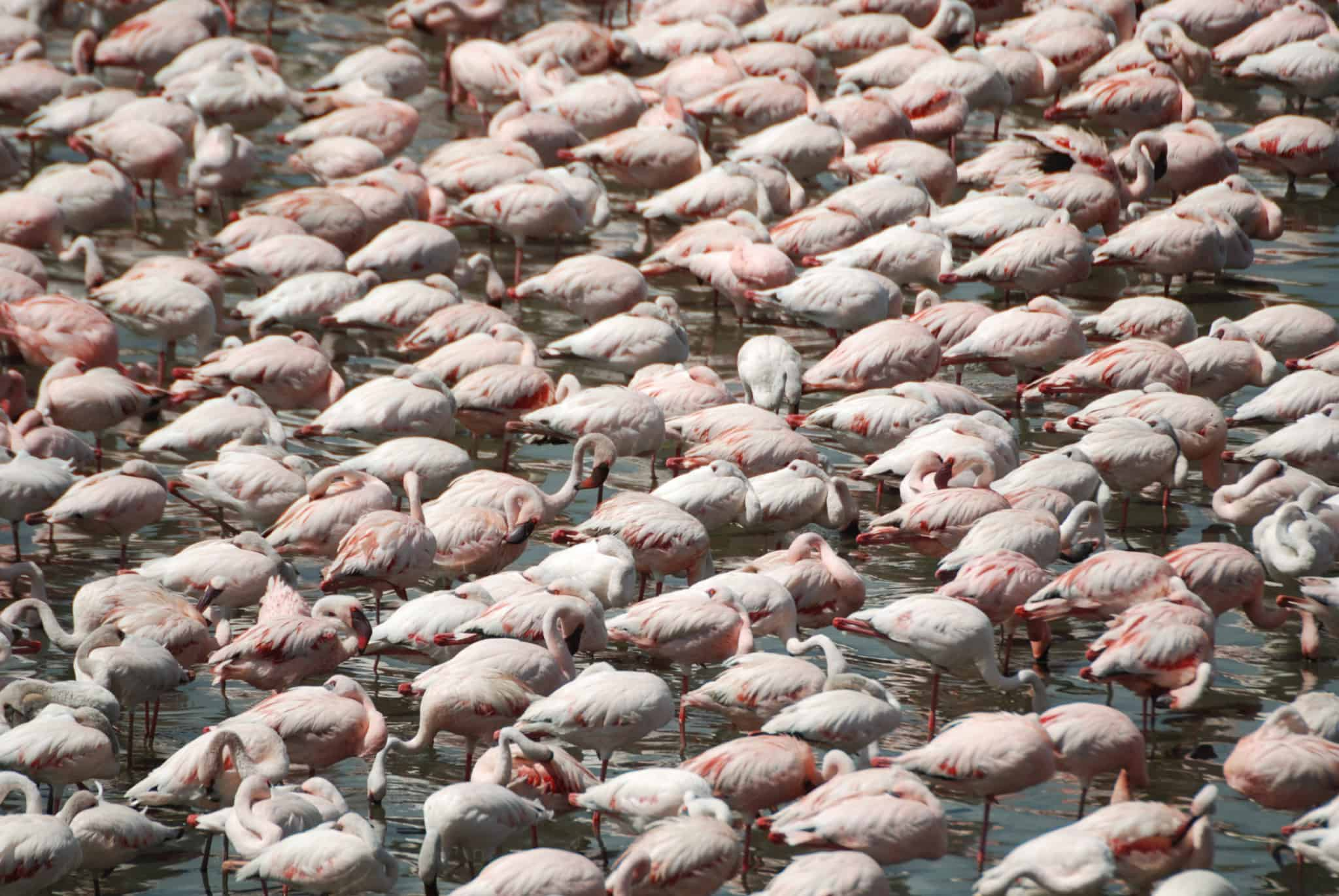 Mass of flamingoes on lake at Arusha National Park